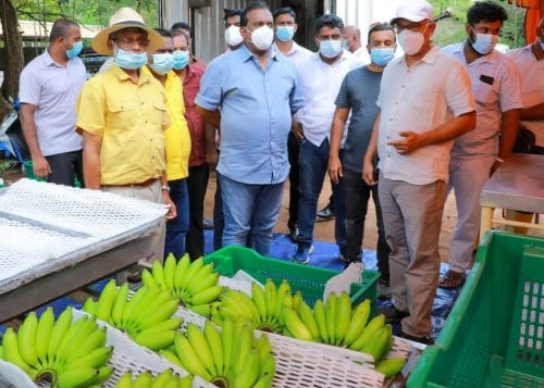 Sri Lanka's Ambul bananas to be exported to foreign markets for the first time.!